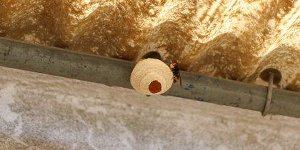 Remoção de ninho de vespa asiática – informações importantes à população